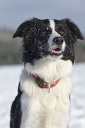 Border Collie Emely