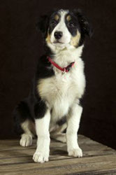 Border Collie Kimama