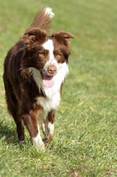 Border Collie Sam