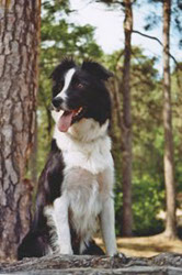 Border Collie Senta