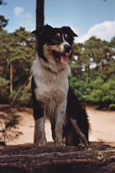 Border Collie Tim