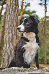 Border Collie Velvet
