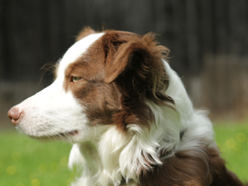 reinrassige Border Collie Huendin