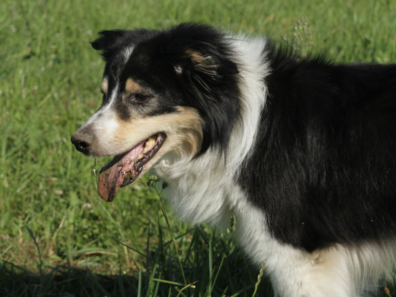 stattlicher Bordercollie Timmy