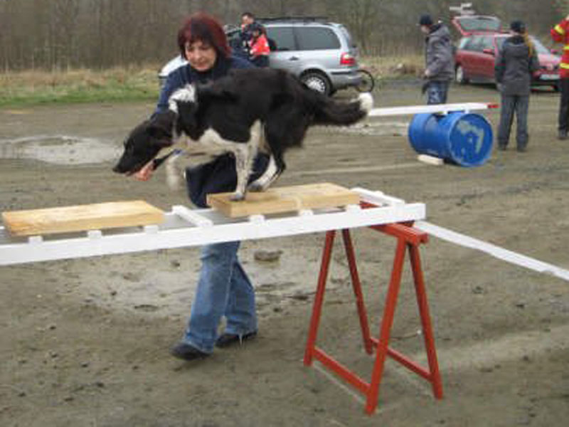 Rettungshund Border Collie