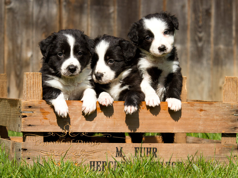 border collie welpen zu verschenken. Black Bedroom Furniture Sets. Home Design Ideas