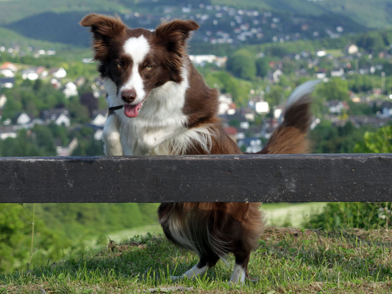 agile border collie huendin