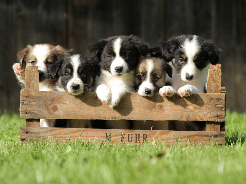 Welpenrudel Border Collie
