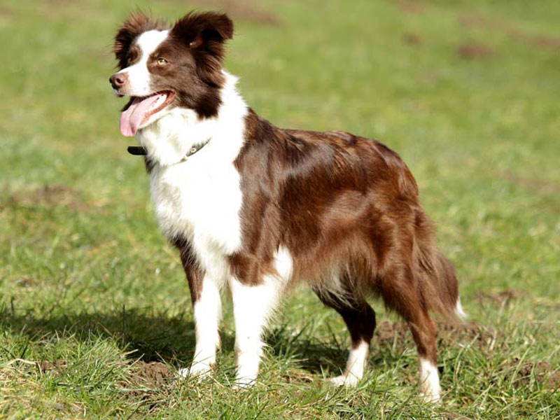 athletischer Border Collie