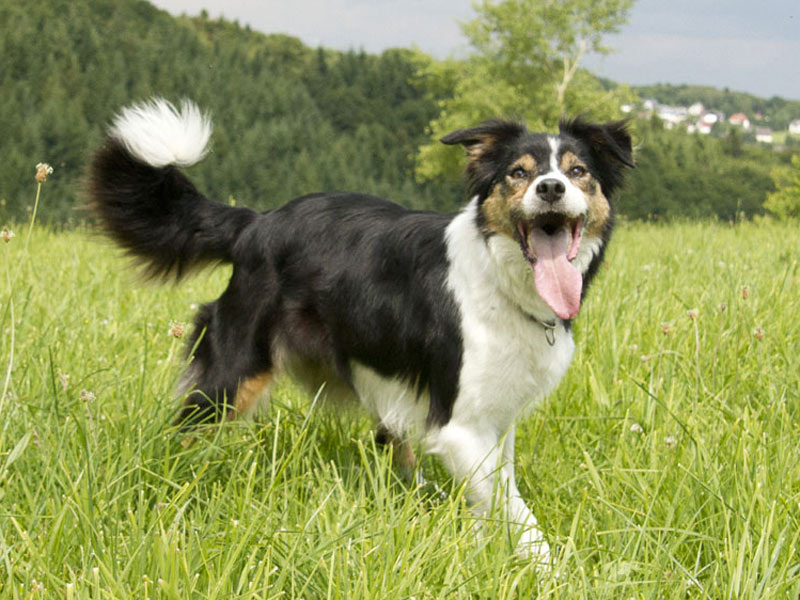 Border Collie Hütehund